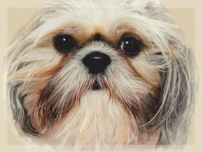 Shih Tzu Notecards